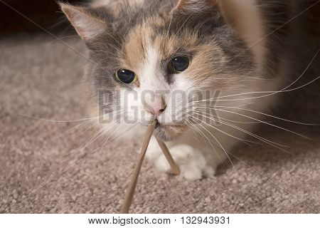 An adult domesticated muted calico cat playing with a string.