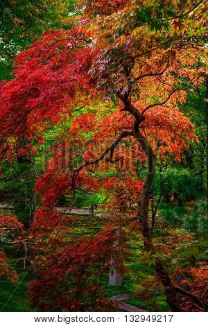 A laceleaf Japanese maple shows its shapely branch structure and finely divided leaves that turn bright red and orange in the Fall called koyo - a sign of Momiji season. The viewing of autumn leaves has been a popular activity in Japan for centuries and t