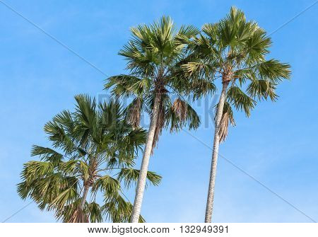 Palm trees on a background of blue sky. Red Sealing wax palm Lipstick palm Raja palm Maharajah palm Cyrtostachys renda ornamental plant in gardens.