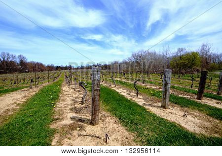 Rows of grapevines in a rural vineyard on an overcast spring day