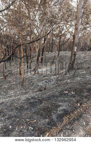 Australian forest after the serious bushfire