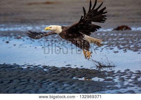 Bald eagle in mid air flight over Homer Spit Kenai Peninsula, Alaska, USA
