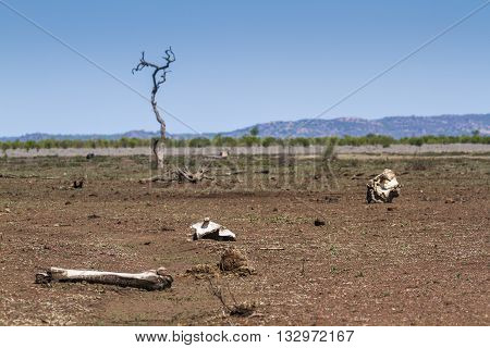 dry savannah and bones in Mopani, South Africa
