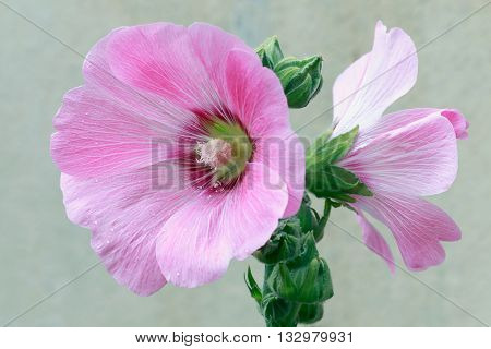 Beautifly pink malva Silvestris flowers. Mallow in the garden