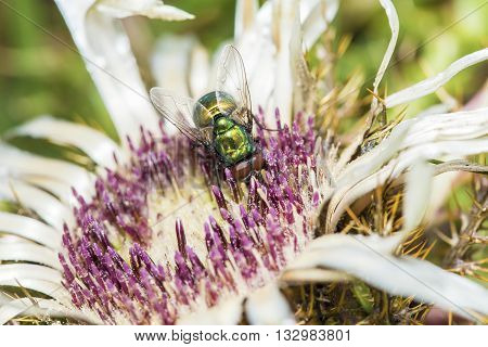 Common Green Bottle Fly Collecting Pollen From A Flower