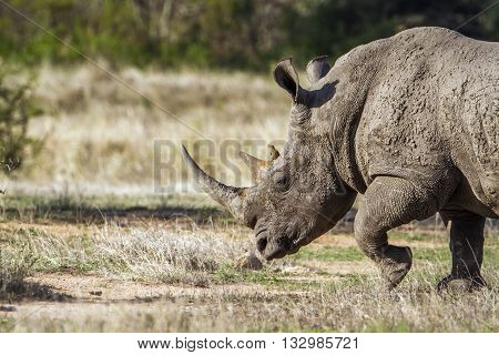Specie Ceratotherium simum simum family of Rhinocerotidae, wild white rhinoceros in the bush in Kruger Park