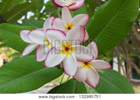 Beautiful sweet yellow pink and white flower plumeria or frangipani and fresh green leaf in happy morning mood and blank space area romantic and soft mood plumeria or frangipani tree tropical nature view plumeria or frangipani background