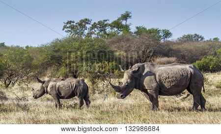 Specie Ceratotherium simum simum family of Rhinocerotidae, family of white rhinoceros in the bush in Kruger Park