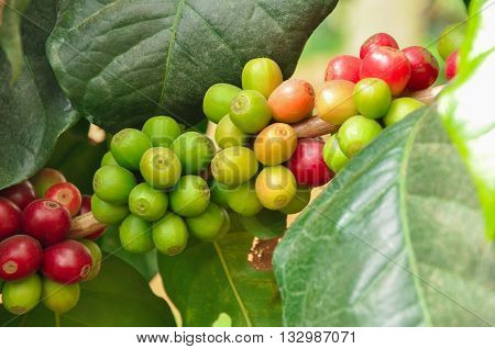 Coffee Beans On Branch Of Coffee Tree