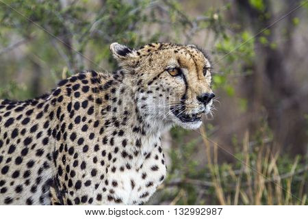 Specie Acinonyx jubatus family of felidae, portrait of a wild cheetah in the bush, Kruger park poster