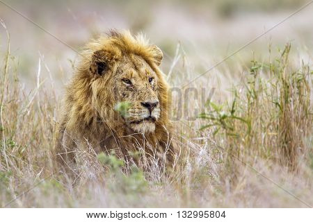 Specie Panthera leo family of felidae, portrait of a wild male lion in the bush, Kruger Park