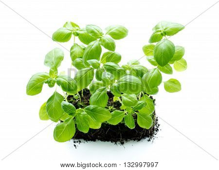 Genovese basil isolated on a white background