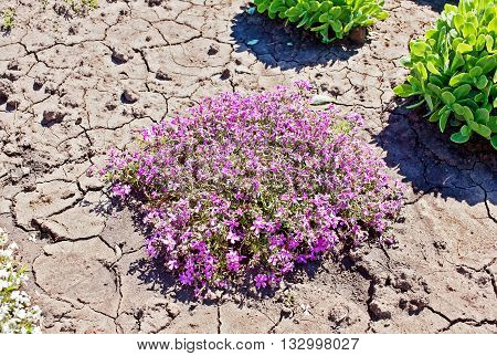 Small pink spring flowers in the hot day in a public botanical garden in the city of Krivoy Rog in Ukraine