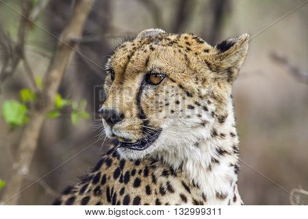 Specie Acinonyx jubatus family of felidae, portrait of a wild cheetah in the bush, Kruger Park