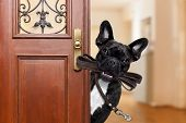 french bulldog dog waiting a the door at home with leather leash in mouth ready to go for a walk with his owner poster