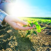 Female farmer's hands in soybean field responsible farming and dedicated agricultural crop protection soy bean plants growth control selective focus. poster