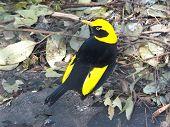 bower bird poster