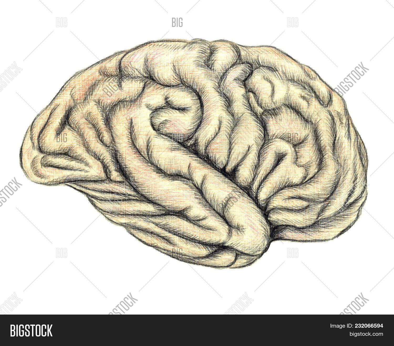 Human Brain Side View Image Photo Free Trial Bigstock