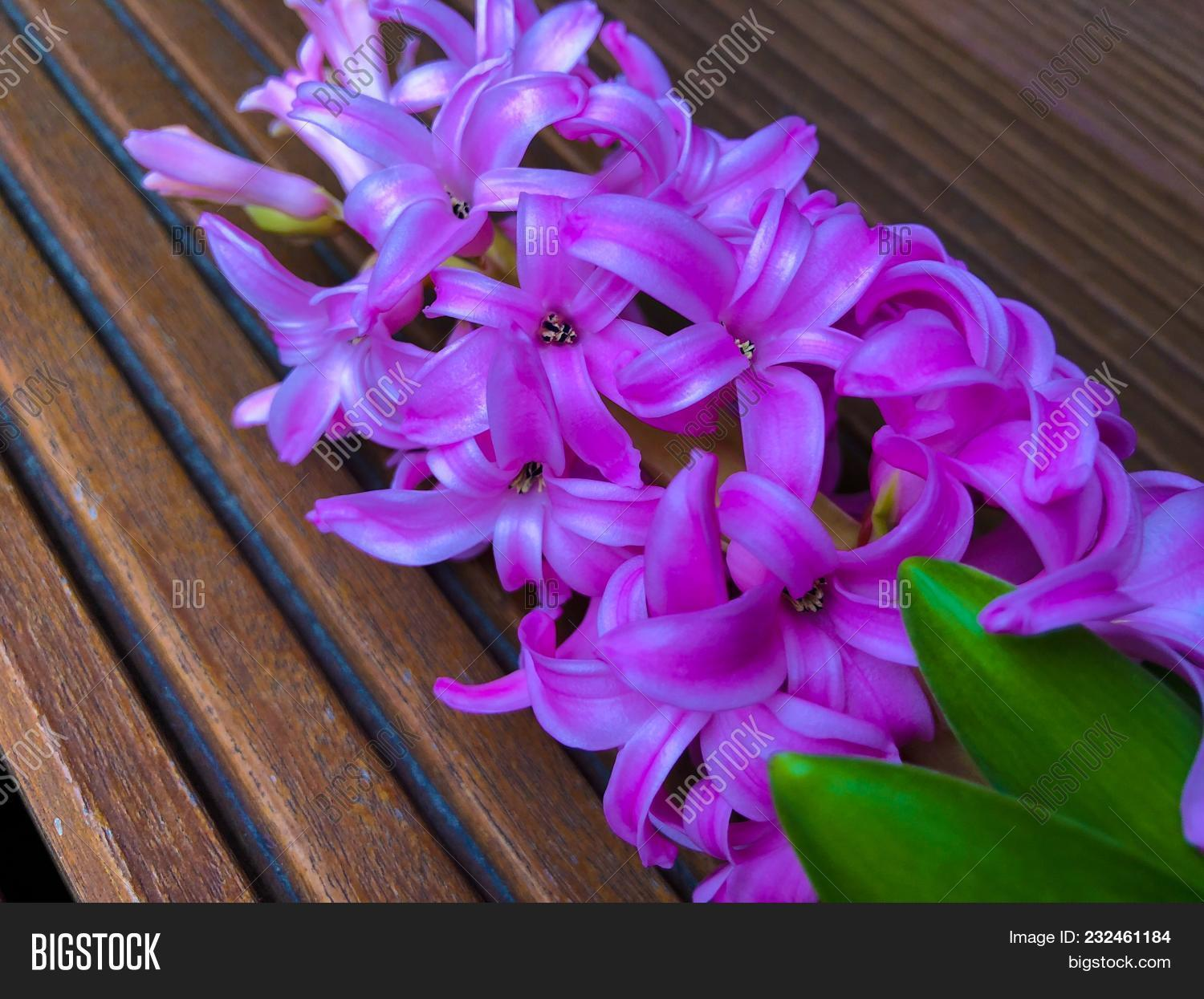 Hyacinth pink surprise image photo free trial bigstock hyacinth pink surprise dutch hyacinth spring bulbs spring flowers the perfume of blooming mightylinksfo