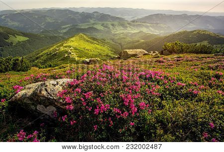 Rhododendrons Bloom In A Beautiful Location In The Mountains. Flowers In The Mountains. Blooming Rho