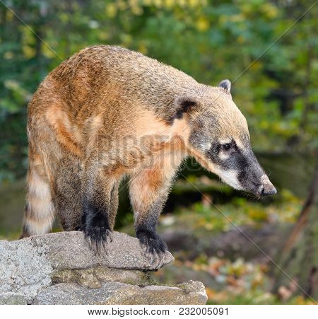 Сoati, Genera Nasua And Nasuella, Also Known As The Coatimundi Is A Member Of The Raccoon Family Nat