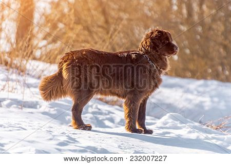 Newfoundland Brown Dog Stand Looking Around In Winter Sunny Day