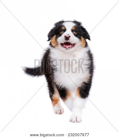 Beautiful Australian Shepherd purebred puppy, 2 months old looking upward. Happy black Tri color Aussie dog in front, isolated on white background.