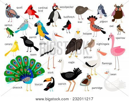 Vector Birds. European And Asian Bird Set Isolated On White Background, Cardinal And Toucan, Bullfin