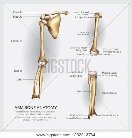 Arm Bone Anatomy With Detail Vector Illustration