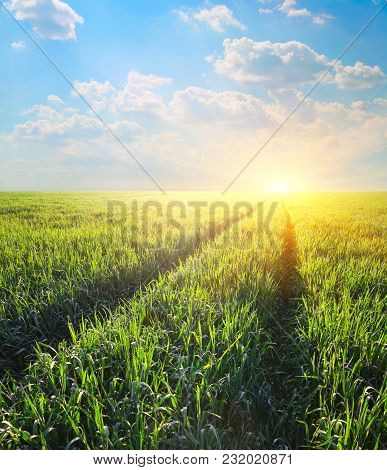 Track In The Field Of Barley At Dawn In Rays Of A Rising Sun, Agriculture Landscape
