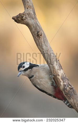 Large And Colorful Bird Perched On A Branch On An Orange Background In Search Of Food