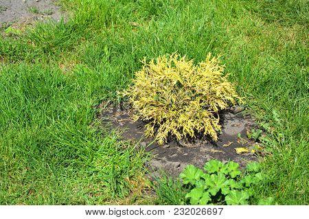 Growing Cypress, Thuja (thuja Occidentalis Golden Brabant) For Landscape Garden Design.