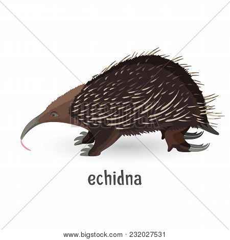 Echidna Covered With Coarse Hair And Sharp Needles. Strong Small Animal With Large Claws To Dig Grou