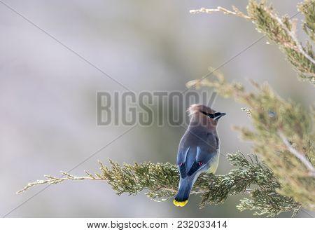 Cedar Waxwing (bombycilla Cedrorum) Male Perched On Juniper, Soft Focus
