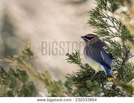 Cedar Waxwing (bombycilla Cedrorum) Has Striking Plumage As It Searches For Juniper Berries In Late