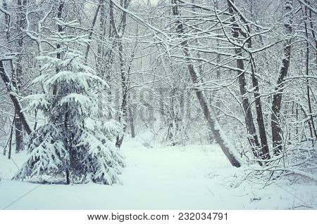 Trees Covered Snow In Winter Forest. Snowy Fir And Trees After Snowfall.