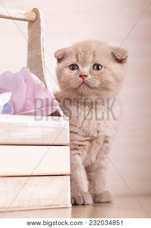 Playful Cream Color Scottish Fold Cat Portrait. Decorations Near Cats. Beautiful Cat Background. Flo