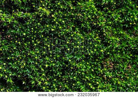 Natural Background Of Emerald Green Moss. Green And Juicy Moss With Sporebearing Boxes.
