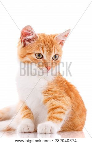 Cat, Pet, And Cute Concept - Red Kitten On A White Background. A Picture For A Calendar Or A Cat Foo