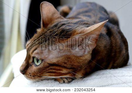 Bengal Cat: Bengal Cat Lying Down Head Closeup