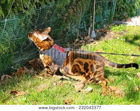 Bengal Cat On A Harness And Leash Sniffing A Fence
