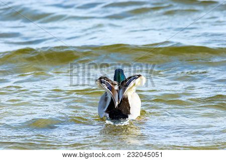 Image Of A Bird A Wild Drake Swims Along The River