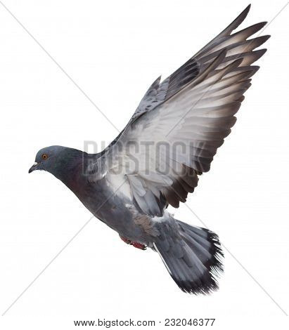 Dove In Flight On A White Background .