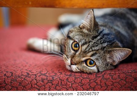 Thoroughbred Breeder Cat Resting At Home. Portrait Of A Striped Cat. House, Love, Pet Concept