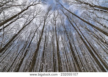Wide Angle Photo Of A Forest With Barren Tall Trees Shot Upwards