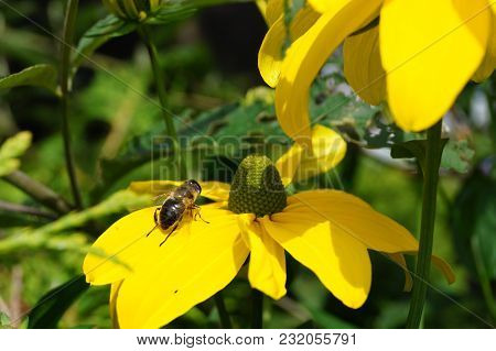 Yellow Rudbeckia Asteraceae Flower - A Garden Summer Bloom