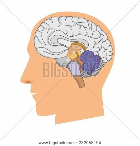 Head Of A Man With A Brain In A Cut On White Background.
