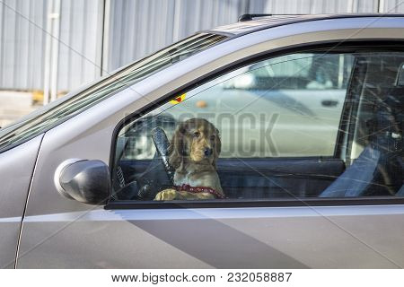 Dog Sitting On The Front Seat Of A Car And Trying To Drive. Dog Driving A Car. A Dog Left In A Car S