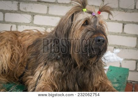 Portrait Of A French Shepherd - Briard. Close-up. Dogs. Animals