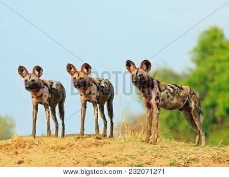 Scenic View Of Wild Dogs (lycaon Pictus) - Painted Dogs Standing On Topof A Sandbank Surveying The A